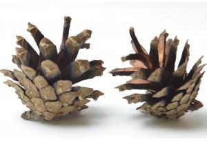 Шишки сосновые, 3-4 см